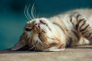 Portrait of a happy sleeping cat