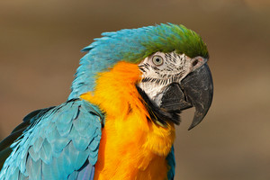 Portrait of blue-and-yellow macaw, Ara ararauna, also known as the blue-and-gold macaw, is a large South American parrot with blue top parts and yellow under parts