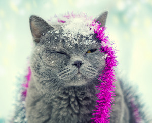Portrait of blue british shorthair cat with christmas tinsel and snow on the head