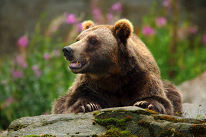 Portrait of brown bear, sitting on the grey stone, pink flowers at the background, animal in the nature habitat, Finland