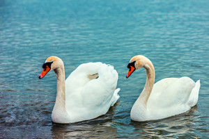 Portraits of couple of swans swimming in the lake together