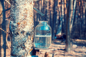 Production of birch sap in glass jar in the forest. Springtime
