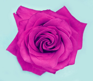 Purple rose isolated on blue background