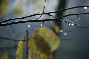 rain in dark forest and drops of water on branches. Autumn nature background