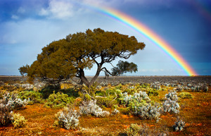 Rainbow over a lone tree in the desert