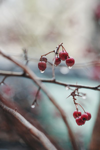 Red big berries in rain in forest with dropas of water. Photo with cold colors