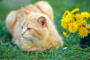 Red cat lying on a grass with bouquet of dandelion flowers in spring