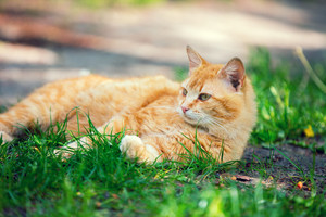 Red cat lying on the grass