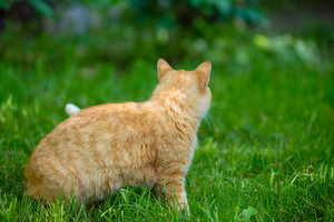 Red cat walking on the grass back to camera