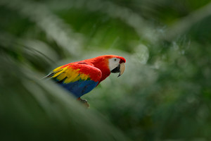 Red parrot in green vegetation. Scarlet Macaw, Ara macao, in dark green tropical forest, Costa Rica, Wildlife scene from tropic nature. Red bird in the forest. Parrot in the green jungle habitat.