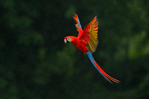 Red parrot in rain. Macaw parrot fly in dark green vegetation. Scarlet Macaw, Ara macao, in tropical forest, Costa Rica, Wildlife scene from tropic nature. Red bird in the forest. Parrot flight.