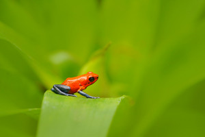 Red Strawberry poison dart frog, Dendrobates pumilio, in the nature habitat, Costa Rica. Close-up portrait of poison red frog. Rare Amphibian in the tropic forest. Wildlife jungle. Frog in the forest.