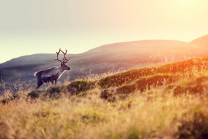 Reindeer in norwegian tundra, Norway