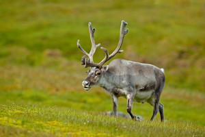 Reindeer, Rangifer tarandus, with massive antlers in the green grass, Svalbard, Norway