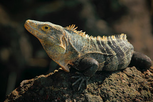 Reptile Black Iguana, Ctenosaura similis, sitting on black stone