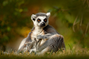 Ring-tailed Lemur, Lemur catta, with green clear background. large strepsirrhine primate in the nature habitat. Cute animal from Madagascar. Beautiful Lemur relaxing in the forest during first light.