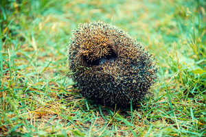 Rolled in a ball hedgehog on the grass