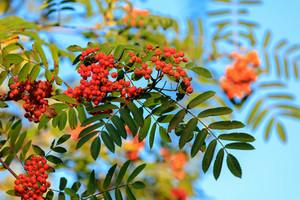 Rowan on the branch against blue sky