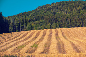 Rural landscape, a field of sloping wheat against the mountain
