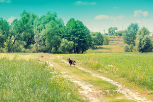 Rural landscape. Dirt road through the field. A dog stands on the road.
