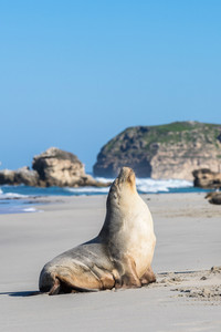 Sea Lion at Seal Bay, Kangaroo Island