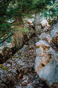 Sheeps on the steep rocky slope in old pine trees forest. Highlands on Kefalonia island. Greece