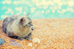 Siamese cat resting on the beach