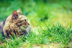 Siberian cat sitting in the garden on the grass in summer