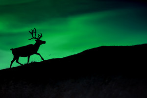 Silhouete of a reindeer walking on a mountain against night sky