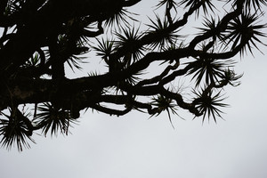 Silhouette of Dragon tree crone on grey sky background. Santo Antao, Cape Verde Cabo Verde