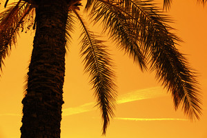 Silhouette of tropic palm tree against against orange sunset sky
