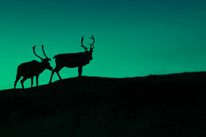 Silhouette of two deer against cold green night sky in the dark