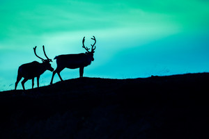 Silhouette of two deer against sky in the dark
