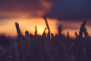 Silhouette of wheat ears in a filed during sunset. Natural light back lit