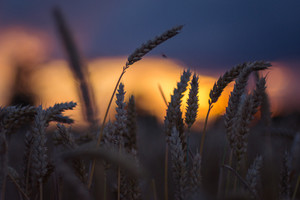 Silhouette of wheat ears in evening sunset light. Natural light back lit. Beautiful sun flares bokeh