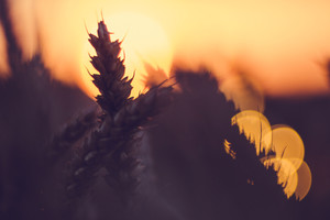 Silhouette of wheat ears in front of sun ball. Sunset light back lit. Beautiful sun flares bokeh