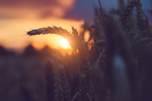 Silhouette of wheat ears in warm sunset light. Natural light back lit. Beautiful sun flares bokeh