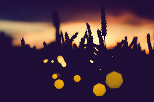 Silhouette of wheat ears with sun flares. Back lit. Beautiful angular sun flares bokeh