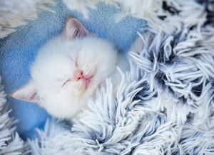 Sleeping cute little kitten lays on a fluffy blanket
