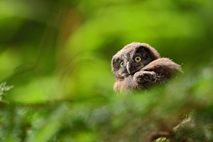 Small bird Boreal owl, Aegolius funereus, sitting on the tree branch in green forest background, young, baby, cub, calf, pup, Sweden