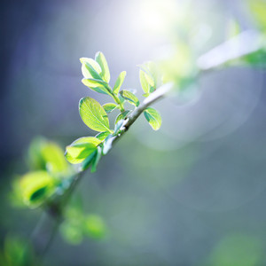 small green young leaves in spring. Nature background