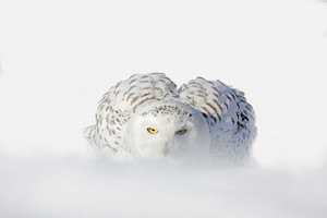 Snowy owl, Nyctea scandiaca, white rare bird with yellow eyes sitting on the snow during cold winter, snowy storm with snowflake, Manitoba, Canada