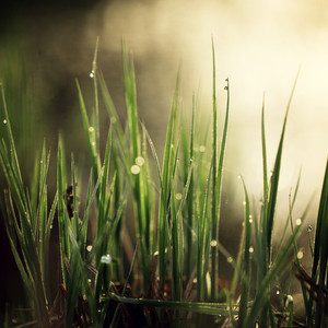 spring grass in morning with dew and drops of water