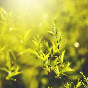 spring green leaves background. Nature