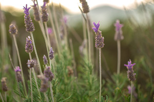spring lavanda in grass. Beautiful meadow wild flowers and plants in field