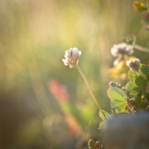 Spring. Meadow flowers in field in sunrise