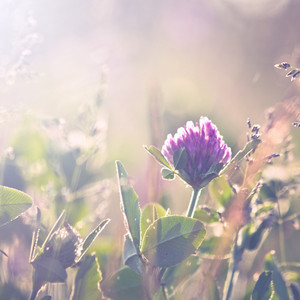 Spring nature. Clover on field vintage