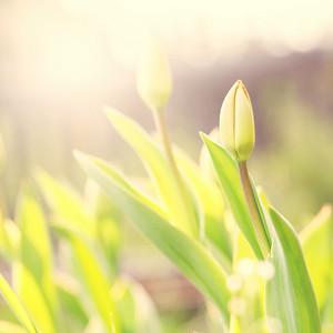 Spring nature. Vintage spring tulip flower