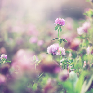 Spring soft romantic pink meadow flowers. Nature