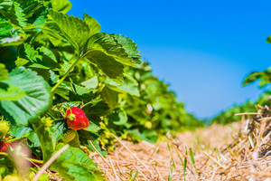 Strawberry field. Garden-bed with some ripe fruit. Blue sky in background